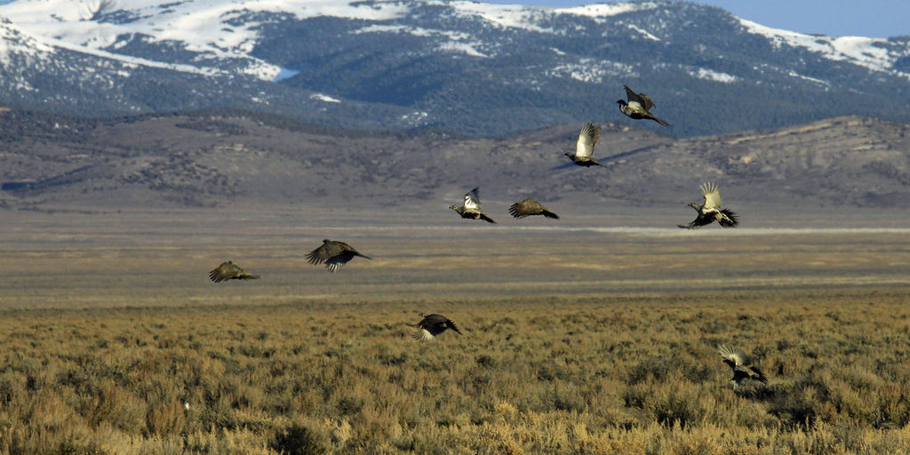 Greater sage grouse in flight in Nevada.